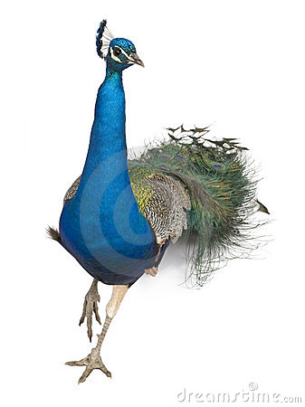 Free Male Indian Peafowl Walking Stock Images - 15361224