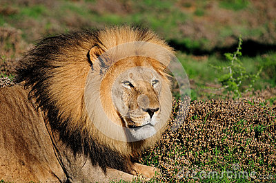 A male Kalahari lion, Panthera leo