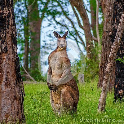 Free Male Kangaroo In The Forest Stock Image - 132502381