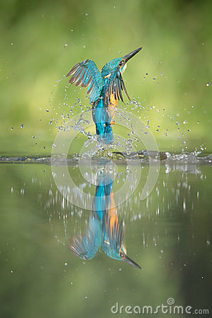 Free Male Kingfisher Stock Images - 32860724