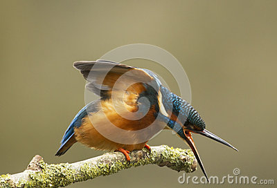 Male Kingfisher - Alcedo atthis