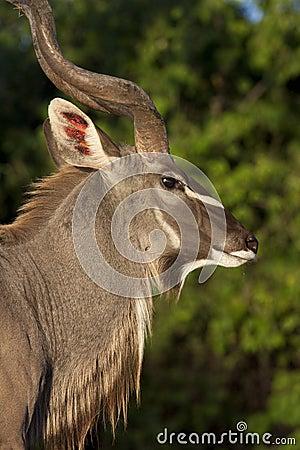 Free Male Kudu Antelope _ Botswana Stock Image - 24996211