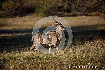 Male Kudu - Okavango Delta - Botswana