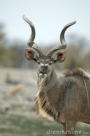 Free Male Kudu Portrait Stock Photo - 1010270