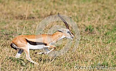 Male lån gazelle