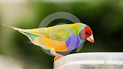 Male Lady Gouldian finch bird