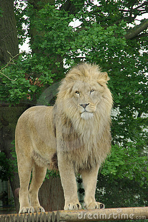 Free Male Lion 2 Royalty Free Stock Photo - 3820155