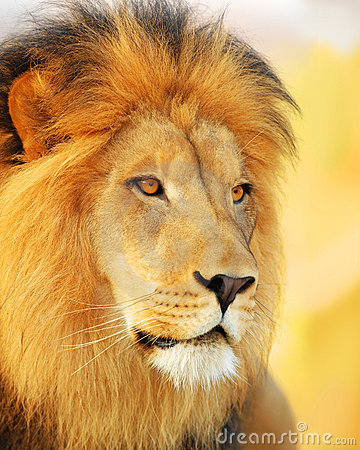 Free Male Lion Stock Photography - 7780712