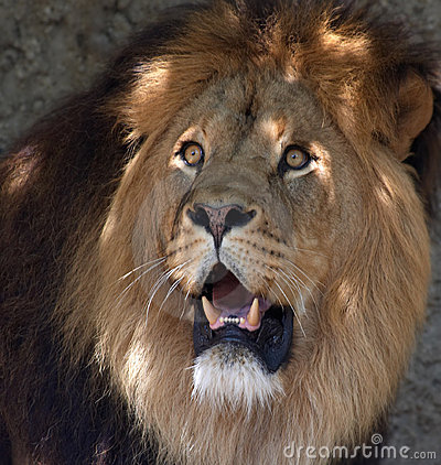 Free Male Lion Royalty Free Stock Photo - 840045