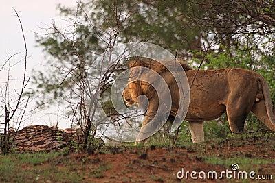 Male lion africa safari