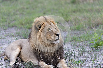 A male lion in the afternoon