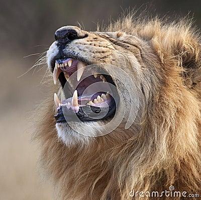 Male Lion - Botswana