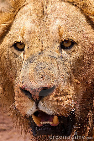 Male lion closeup of the head