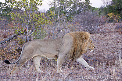 Male Lion at Daybreak