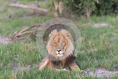 A male Lion facing the sun