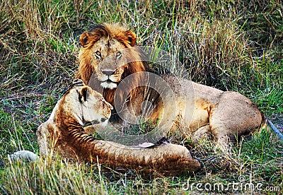 Male lion and female lion. Safari in Serengeti, Tanzania, Africa