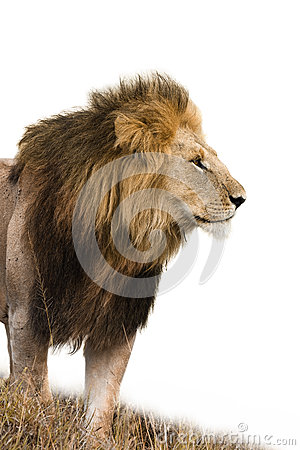 Free Male Lion Isolated Stock Images - 61892694