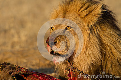 Male lion on a kill