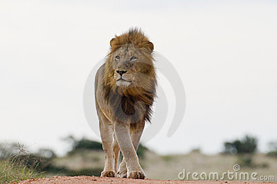 Male lion (leo panthera)