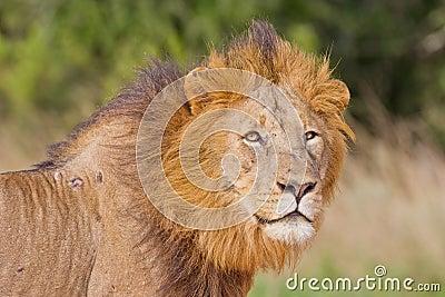 Male lion (leo panthera)