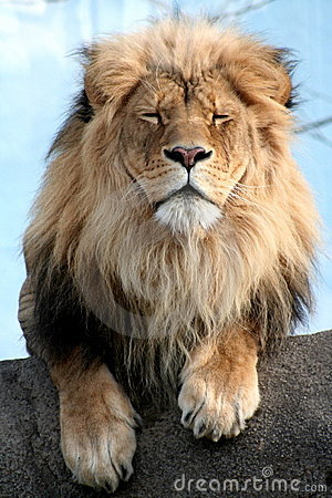 Male Lion looking annoyed