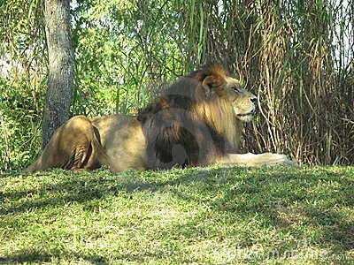 Male lion lying on grass