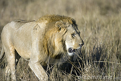 Male Lion on the Masai Mara