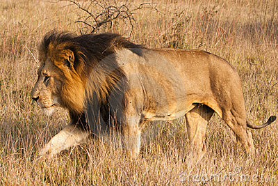 Male Lion On The Move