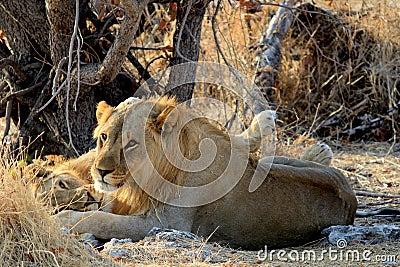 Male lion (Panthera leo), Etosha, Namibia