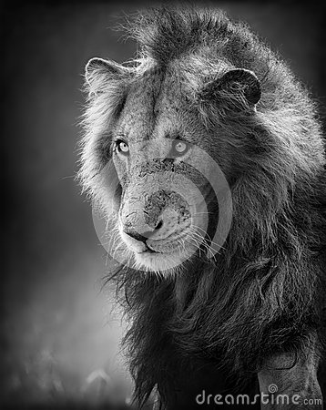 Male Lion Portrait (Artistic processing)