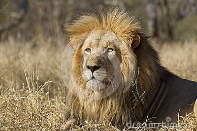 Male Lion portrait, South Africa