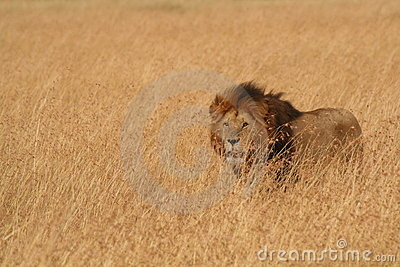 Male Lion in Serengeti