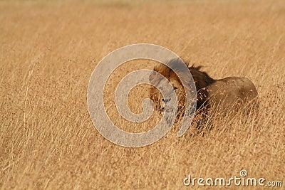 Male Lion in Serengeti