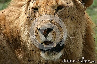 Male Lion - Serengeti Safari, Tanzania, Africa