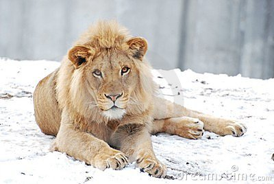 Male lion in the snow