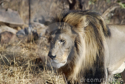 Male lion stalking