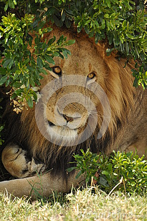 Male lion under a bush