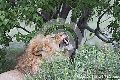 A male lion yawning