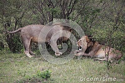 Male Lions In Kenya