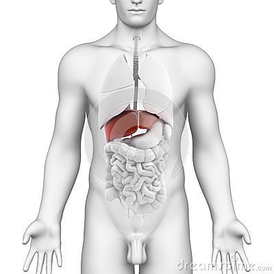 Male liver organ - interior view with full body