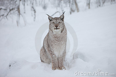 A male Lynx stares
