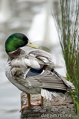 Free Male Mallard Duck Royalty Free Stock Photography - 40290237