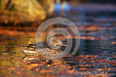 Male mallard duck swimming in the water