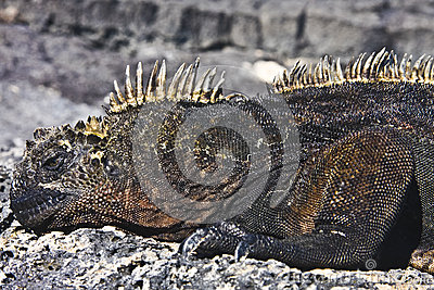 Male of marine iguana