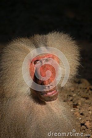 Male monkey almost human