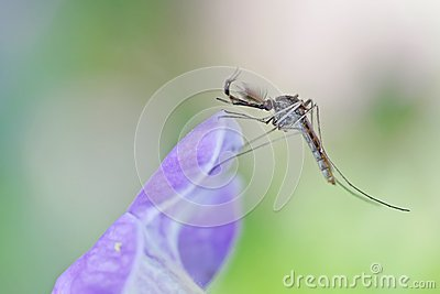 Male mosquito on flower