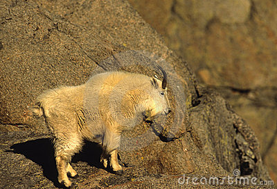 Male Mountain Goat