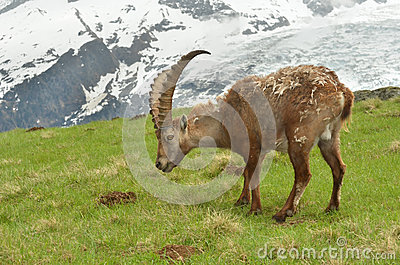 Male mountain ibex