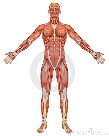 male muscular anatomy front view royalty free stock images - image, Muscles