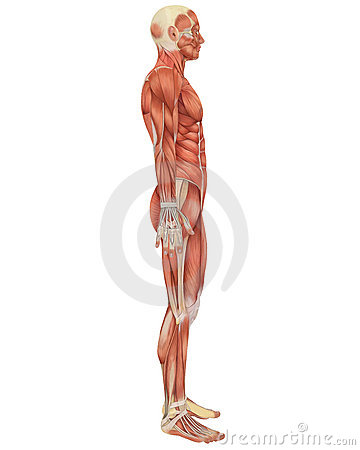 Male Muscular Anatomy Side View Royalty Free Stock Images - Image ...